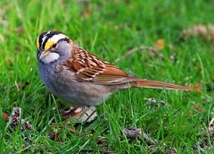 white-throated sparrow at Lake Meyer Park IA 854A8209 (lreis_naturalist) Tags: park county lake reis iowa larry sparrow meyer whitethroated winneshiek
