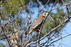 Red-shoulder hawk on a  tree branch. (Alexandra Rudge.Thanks x 7 millon viewersl!) Tags: californiafauna californiabirds losangelesfauna lafauna labirds southerncaliforniabirds southerncaliforniafauna losangeleswildbirds losangeleswildlife californiawildlife californiawildbirds vidasalvaje pajaros birds aves ave animals animales fauna pajarosdecalifornia pajarosdelosangeles pajarosdelsurdecalifornia avescalifornianas chordata animalia nature naturaleza canon alexandrarudge alexandrarudgebirds passeriformes alexandrarudgephotography alexandrarudgeimages trees branches arboles ramas redshoulderhawk hawk buteo buteolineatus falconiformes buteoninae accipitridae accipitriformes blineatus flickrhivemindgroup