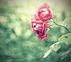 the rose (Frank ) Tags: rose dof tint topf300 depthoffield topf100 tone topf200 levels vintagelook 100faves 200faves 300faves boekhouding vscofilm