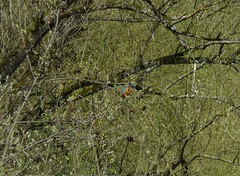 Eisvogel (2), NGIDn1253955366 (naturgucker.de) Tags: karlsruhe eisvogel naturguckerde weiherwald ccorneliabuchta ngidn1253955366
