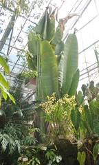 (sftrajan) Tags: greenhouse botanicgarden botanicalgarden glasshouse jardinbotanico gewchshaus jardinbotanique tropicalplants botanischergarten invernadero botanischetuin universityofcaliforniabotanicalgardenatberkeley universityofcaliforniabotanicgarden