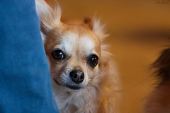 Linda. (elisaingegneri) Tags: dog baby color cute animal photo eyes sweet small shy jeans blonde doggy due