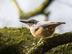 Nuthatch In The Morning Light - Kleiber im Morgenlicht (Joe) (Uli-Joe) Tags: birds bokeh vgel nuthatch songbird lichtundschatten kleiber singvogel wildlifeanimal wildlebendestier achimergolfclub