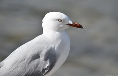 Silvergull (Merrillie) Tags: seagulls nature birds animals fauna nikon bokeh wildlife gulls australia woywoy silvergull d5500 nswcentralcoastnsw centralcoastnsw