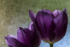 Spring Tulips - April 2016 (GOR44Photographic@Gmail.com) Tags: flower macro canon petals purple tulip 100mmf28 canon100mm 60d gor44