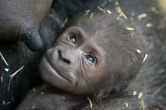 Shae @ Artis 25-01-2016 (Maxime de Boer) Tags: amsterdam animals zoo monkey gorilla natura ape dieren shae aap artis dierentuin magistra