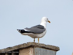 eastern_camargue 1 (lensander2015) Tags: birds gulls