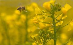 yellow (jan.scho) Tags: gelb blume makro blte insekt raps biene fliegen flug