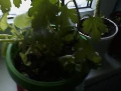 IMG15605 (chicore2011) Tags: windowsill potplants