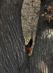le guigneur. (bulbocode909) Tags: nature arbres oreilles nes troncs