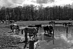 Wild Horses in black-and-white - Bathing - 2016-026_Web (berni.radke) Tags: horse pony bathing herd nordrheinwestfalen colt wildhorses foal fohlen croy herde dlmen feralhorses wildpferdebahn merfelderbruch merfeld przewalskipferd wildpferde dlmenerwildpferd equusferus dlmenerpferd dlmenpony herzogvoncroy wildhorsetrack