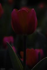 Dark Tulip (jldm_76) Tags: flower dark spring nikon outdoor tokina tulip m100 tokina100mmf28atxprod d7200