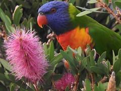bright Rainbow Lorrikeet and pink banksia (jeaniephelan) Tags: bird parrot rainbowlorikeet australianbird tasmanianbird