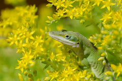 Camouflaged (Linda Dyer Kennedy) Tags: flowers green yellow catchycolors spring peekaboo lizard camouflage anole hiding