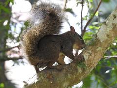 Esquilo squirrel (-Rodolfrito-) Tags: squirrel museu jardim imperial esquilo petrpolis