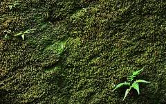 Leaves 27 (orientalizing) Tags: desktop peru leaves moss featured amazonbasin ahuashiyacu sanmartinprovince tarapotodistrict