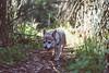My Trail Child (Jake Arciniega) Tags: chihuahua oregon portland sauvieisland lightroom pomchi hihuahua canon7dmarkii vscofilm vscocam