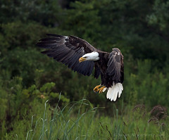 Coming in for a landing (Susan Newgewirtz) Tags: bird eagle outdoor feathers raptor americanbaldeagle