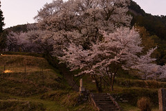 48Butsuryuji Temple (anglo10) Tags: sunset japan cherry temple