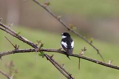 IMG_7946 (Cilmeri) Tags: nature birds animals wales snowdonia smallbirds gwynedd eryri dolgellau piedflycatcher flycatchers
