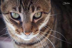 Dexter (Silvia Illescas Ibez) Tags: portrait pet cats pets eye textura animal animals cat canon ojo photography eos eyes retrato gatos ojos gato 7d fotografia mirada mascota mamifero loking canon7d silviaillescas