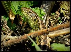 ob ich es heute wagen kann aus meinem Versteck zu kommen ??? (karin_b1966) Tags: nature animal garden reptile natur garten tier reptil 2016 gardenlizard garteneidechse
