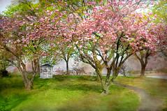 Pink Romance (floralgal) Tags: landscape spring romance gazebo cherryblossoms romanticlandscape mamaroneckharbor newyorklandscape springinthepark mamaronecknewyork westchestercountynewyork