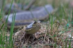 Garter snake (dougwest403) Tags: ohio garter snake