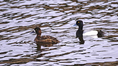 Greater Scaup, Miller Creek, 04/27/16 (TonyM1956) Tags: elements nature waterfowl birds ducks scaup greaterscaup tonymitchell duluth parkpoint stlouiscounty minnesota sonyphotographing sonyalphadslr