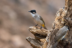 Brown-breasted-bulbul-N81_1332 (Niklas_N) Tags: china bird nature wildlife kina d810 nikkorafs500mmf4edvr