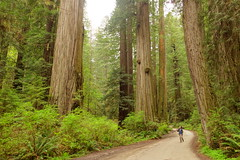 The Greatest Road On Earth (Redwood Reverence) Tags: california road holland big path hill smith sp jed redwoods rd