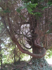 TreeMendous Tuesday (pefkosmad) Tags: uk england tree nature branches churchyard herefordshire twisted gnarled brockhampton allsaintschurch treemendoustuesday