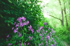 160429-flowers-blooms-purple-spring.jpg (r.nial.bradshaw) Tags: flowers photo spring purple image creativecommons blooms springtime stockphoto blooming stockphotography adobecameraraw royaltyfree attributionlicense probono probonopublico rnialbradshaw