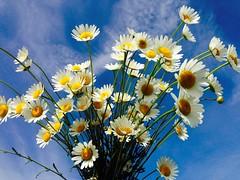 j1x (gzammarchi) Tags: italia natura campagna fiore paesaggio margherita sanmarco ravenna pianura mazzo