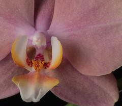 Phalaenopsis April 2016-3719 web (photognut) Tags: flower macro indoor phalaenopsis gel strobe cto offcameraflash modifier
