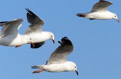 Silver Gulls (Tom Kennedy1) Tags: gulls australia melbourne saintkilda silvergull chroieocephalusnovaehollandiae