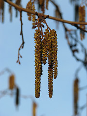 055/365: Just hangin... (Kelvin P. Coleman) Tags: nottingham light sky canon spring afternoon powershot catkin 365 magichour goldenhour ament