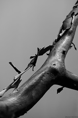 Stripped! (Ramesh Adkoli) Tags: bw closeup blackwhite capturenx wildernest d800e