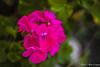 Flowers On My Street (MarcCooper_1950) Tags: california pink red flower macro woodland los flora nikon angeles hills 60mm nikkor f28 d810