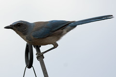 Western Scrub Jay (coconv) Tags: life wild bird nature birds animal animals insect living jay thing being wildlife things western creatures creature scrub