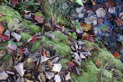 Nature's Poetry (poeticverse) Tags: winter lake leaves moss winteriscoming awalkinthewoods lateautumn naturespoetry theeleganceofmoss thewarmthofmoss