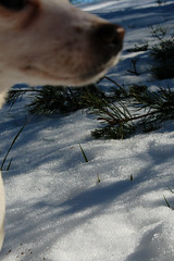 Photobomb (DapperDaphne) Tags: road wood winter dog snow tree texture ice broken water pool field grass stone pine forest puppy jack puddle foot moss paw woods melting branch crystal outdoor path branches russel grain canine trail terrier fabric pineneedles cedar prints snowing melt doggy pup pawprints sap domesticated snowed runoff canislupus