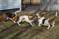 IMG_6118 (BFDfoster_dad) Tags: hound basset