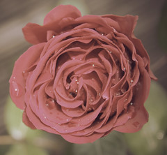 Rose Square (GCF Photography) Tags: red roses flower love nature floral rose square symbol romance pale muted