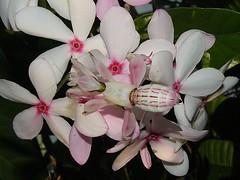 Orchid Mantid (rstickney37) Tags: mantis prayingmantis mantid museumoflifeandscience insectarium hymenopuscoronatus museumoflifescience ncmuseumoflifescience hymenopus orchidmantid