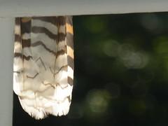 Shake your tail feather (enjbe) Tags: feather australia kookaburra