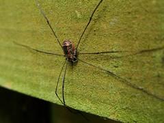 Harvestman (little-acorns) Tags: autumn garden insect isleofman manx invertebrate harvestman wildllife