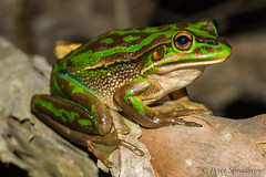 Some frogs are just spectacular (pspradbrow) Tags: sydney amphibian frog endangered homebush sydneyolympicpark litoria litoriaaurea greenandgoldenbellfrog bellfrog spradbrow peterspradbrow pspradbrow