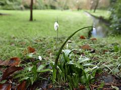 early snowdrop 11/366 (auroradawn61) Tags: uk england flower green interestingness january dorset urbannature bournemouth snowdrop 2016 explored bournemouthgardens bournestream lumixlx100 2016yip 366daysin2016