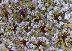 Micromundo (carmenvillar100) Tags: flores flower patterns natura ibiza eivissa wildflower calaboix daucuscarrota campoibicenco camposdeibiza lumixtz70 floressilvestresdeibiza